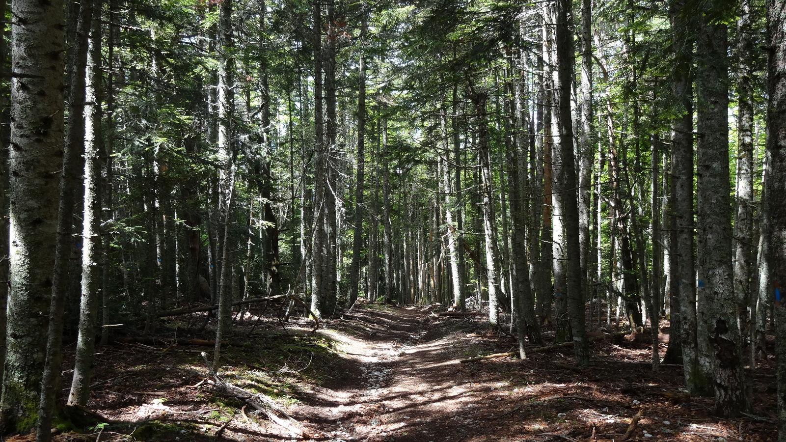 Forêt de hêtres et sapins